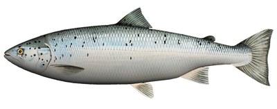 Fladen Cuddly Fish Cushion Salmon 60cm